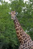 Giraffe at Imfolozi-Hluhluwe Game Reserve in Zululand South Afri. Close up portrait single giraffe head and neck standing in front of green trees at Imfolozi Stock Photos