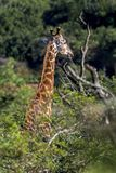 Giraffe at Imfolozi-Hluhluwe Game Reserve in Zululand South Afri. Close up portrait single giraffe head and neck sticking out above green trees at Imfolozi Royalty Free Stock Images