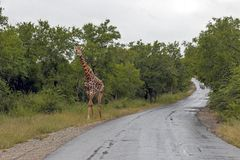Giraffe at Imfolozi-Hluhluwe Game Reserve in Zululand South Afri. Single giraffe walking on side of wet tree lined asphalt road at Imfolozi-Hluhluwe Game reserve Royalty Free Stock Image