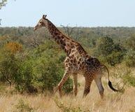 Giraffe In Africa Stock Image