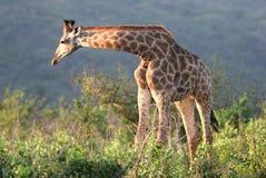 Free Giraffe In Hluhluwe-Umfolozi Park Stock Image - 5232791