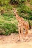 Giraffe In Masai Mara Stock Photography
