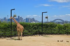 Free Giraffe In Taronga Zoo Eating Food From The Hanging Basket With Magnificent View Of Sydney Royalty Free Stock Photography - 133136627