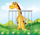 A giraffe inside the cage Stock Photos