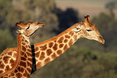 Giraffe interaction. Interaction between two giraffes (Giraffa camelopardalis), South Africa Royalty Free Stock Photos