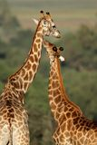 Giraffe interaction. Interaction between two giraffes (Giraffa camelopardalis), South Africa Royalty Free Stock Photo