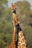 Giraffe interaction Royalty Free Stock Image