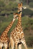 Giraffe interaction Stock Images