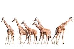 Giraffe isolate su bianco Immagini Stock Libere da Diritti