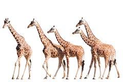 Giraffe isolate su bianco Fotografia Stock Libera da Diritti