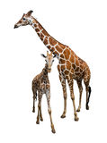 Giraffe isolate on white Stock Photography