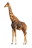 Giraffe isolated. An adult Giraffe isolated against white background; Giraffa Camelopardalis Stock Photos