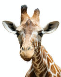 Giraffe, isolated. Giraffe at the zoo, head close-ups isolated royalty free stock images