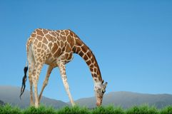 Giraffe isolated Stock Photos
