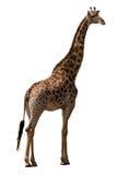 Giraffe isolated. Giraffe (kruger park south africa) isolated on white stock photos