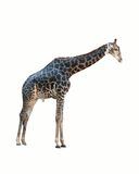 Giraffe isolated . Stock Photo