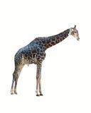 Giraffe isolated . Stock Photo