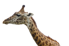 Giraffe isolated. Head and neck of african giraffe isolated on white Stock Photography