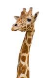 Giraffe isolated. Giraffe face in zoo isolated background royalty free stock photos