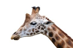 Giraffe isolated. An isolated close up face of a Giraffe Stock Photography