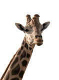 Giraffe Isolated. A giraffe, isolated on white Stock Photos