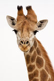 Giraffe. On isolated background in south africa Stock Photos