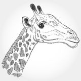 Giraffe isolated black contour on white background. Sketch, hand Stock Photography