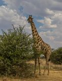 A giraffe isolated in the bush. A giraffe isolated in the African wilderness image with copy space in portrait format stock photos