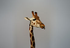 Giraffe. Isolated close-up portrait Stock Images