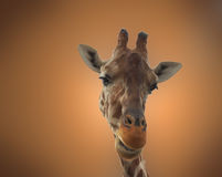 Giraffe. Isolated close-up portrait Royalty Free Stock Photography