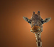 Giraffe. Isolated close-up portrait Stock Photography
