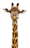 Giraffe Isolated. Giraffe close up isolated on a white background Stock Photos