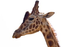 Giraffe isolated on white Stock Image