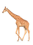 Giraffe isolated Stock Image
