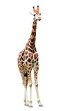 Giraffe. Isolated on white background Royalty Free Stock Image