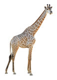 Giraffe isolated. On white background royalty free stock images