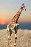 Giraffe is isolated on white background Royalty Free Stock Photo