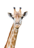 A Giraffe Isolated on White Background royalty free stock images