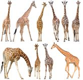 Giraffe isolated on white background. Male and female giraffe isolated on white background royalty free stock photos