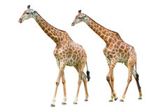 Giraffe isolated on white background. Two Giraffe isolated on white background stock photos