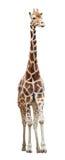 Giraffe isolated on white. Somali giraffe (Giraffa camelopardalis) standing isolated on white background royalty free stock images