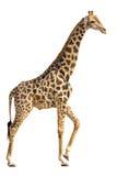 Giraffe isolated on white. Giraffe standing and lifting a foot isolated on white background royalty free stock photo