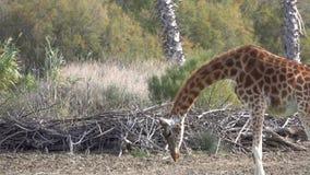 Giraffe isst das trockene Gras aus den Grund stock video footage
