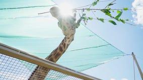 Giraffe isst Zweig mit Blättern im Zoo stock footage