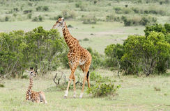 A Giraffe with its calf Royalty Free Stock Image