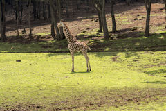 Giraffe. In its natural environment. It is possible to appreciate the green field with some trees stock image