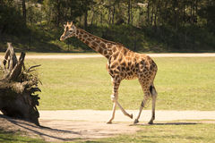Giraffe by itself Royalty Free Stock Photos