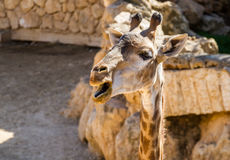 Giraffe, Jerusalem Biblical Zoo in Israel Stock Photo