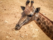 Giraffe, Jerusalem Biblical Zoo in Israel. JERUSALEM, ISRAEL - MAY 8: Giraffe in Biblical Zoo in Jerusalem, Israel on May 8, 2016 Stock Photography
