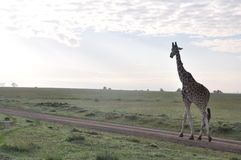 Giraffe journey down the road. Giraffe walking down a dirt road in the early morning on a game preserve in Kenya Stock Photos